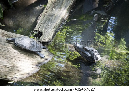 baby alligator and turtle