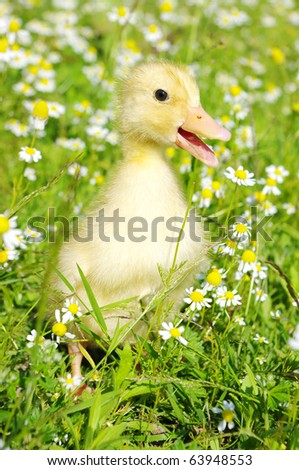 baby duck - stock photo
