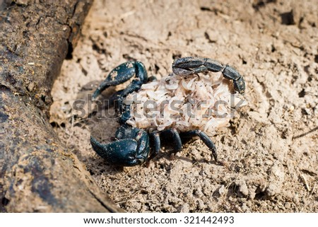 Baby Emporer Scorpion (Pandinus imperator) with their mom.