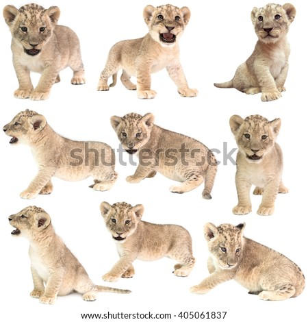 baby lion (panthera leo) isolated on white background