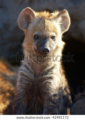 Baby Spotted hyaena (Crocuta crocuta) sitting on the ground in South Africa