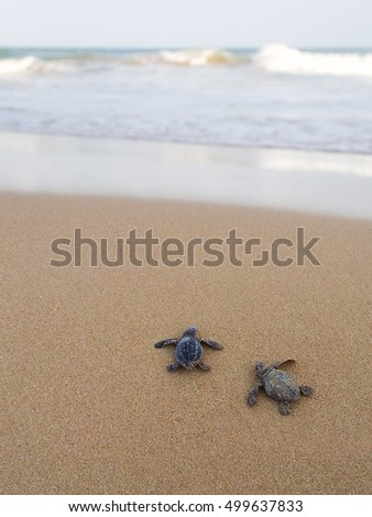 Baby turtles making their way to the ocean