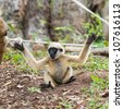 Baby white cheeked gibbon or Lar gibbon - stock photo