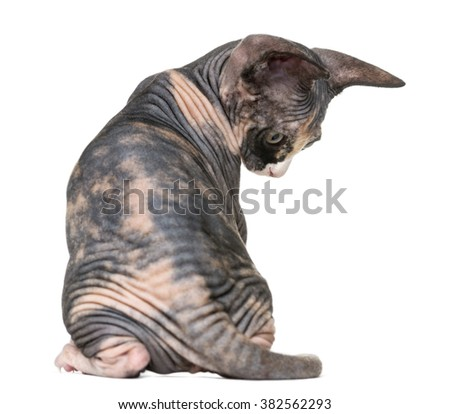 Back view of a Sphynx kitten looking down, isolated on white