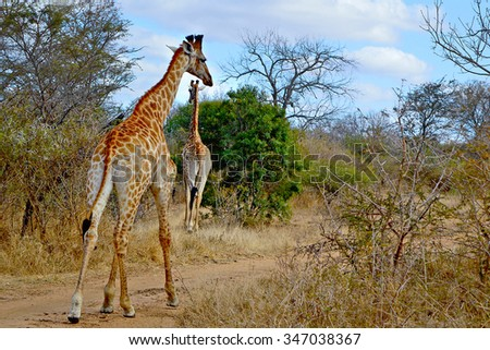 ecology of giraffa camelopardalis essay Search for more papers by this author axel janke  thornicroft's giraffe, giraffa camelopardalis thornicrofti, is a geographically isolated subspecies of giraffe found only in north-east zambia  specific studies have been undertaken on the ecology of this subspecies, but their population genetics remains unknown.