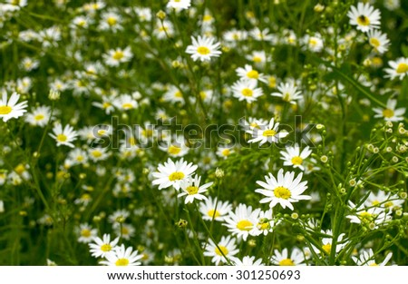 background field of daisies