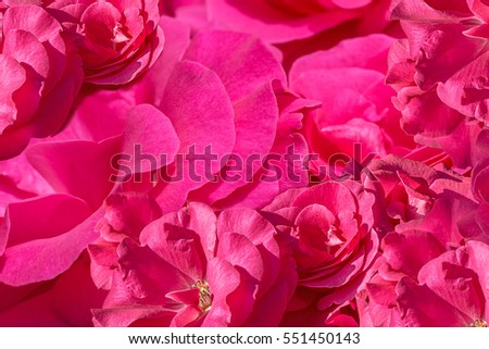 Background from inflorescences of pink roses, close up. Selective focus