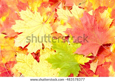 Background from yellow and red autumn leaves of maple