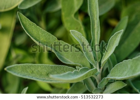 background of green Sage leaves in the garden, aromatic herbs