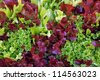 background of multicolor lettuce leaf - stock photo
