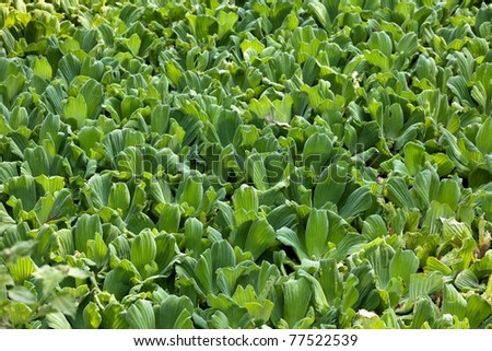 background of water lettuce pistia stratiotes in tropical pond