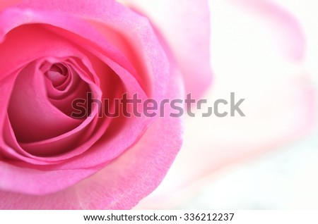 background with pink rose close-up
