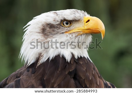 bald eagle head close up portrait