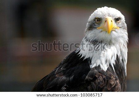 Bald Eagle. The bird of prey found in North America and It is the national bird of the United States of America and appears on its Seal.