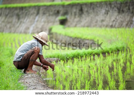 BALI, INDONESIA - AUGUST 15: Unidentified man cultivating rice on August 15, 2014 in Bali, Indonesia. Rice production in Indonesia is an important part of the his economy and the staple food in diet