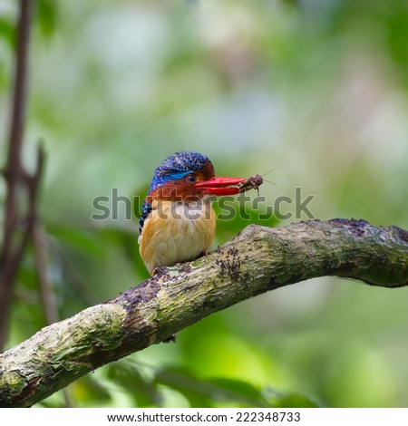 Banded Kingfisher,Lacedo pulchella
