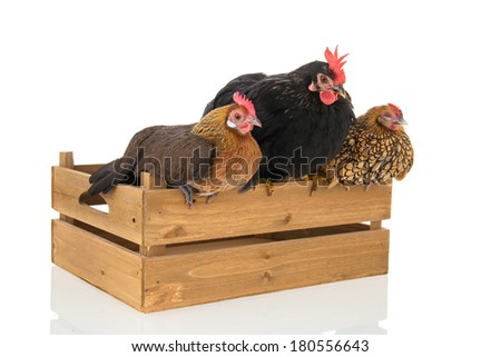 Bantam chickens on wooden crate isolated over white background