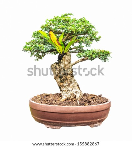 banyan fig trees as bonsai isolated on white background