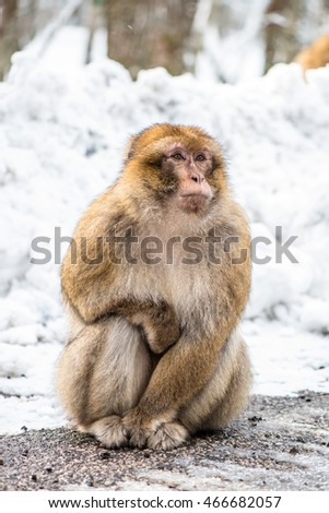 Barbary macaque in snow