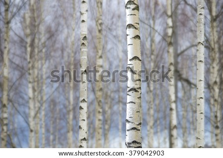 Bare trunks of birch trees on blue sky in early spring