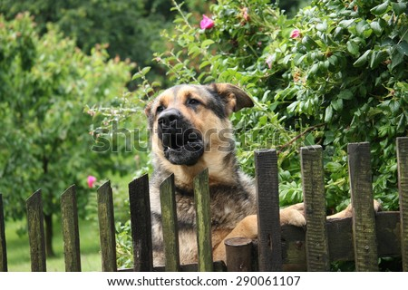 Barking dog behind a fence