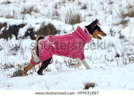 Basenji dog dressed in a warm coat running on the snow