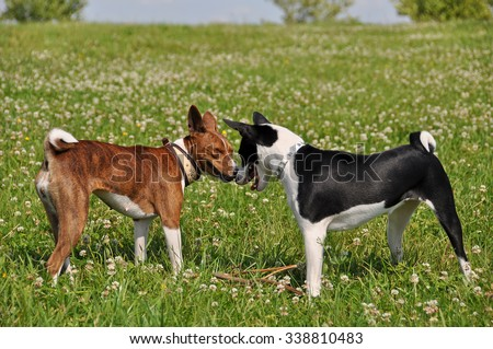 basenji dogs sniffing each other in the nose
