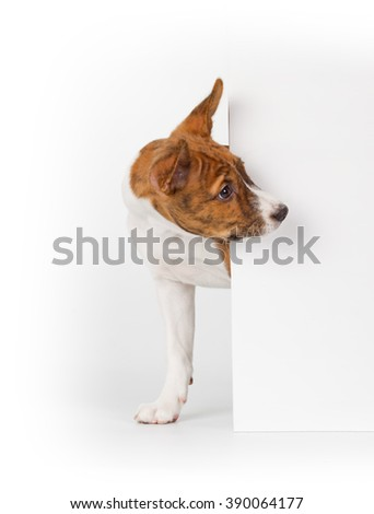 Basenji puppy isolated on white background. Side view, peek out