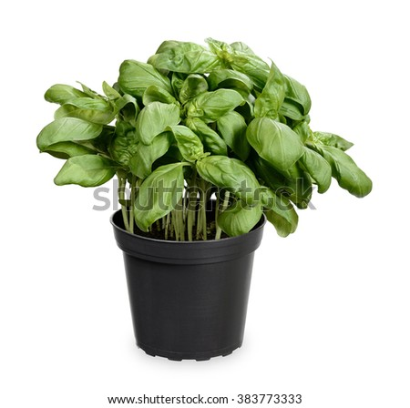 Basil herb in plant pot