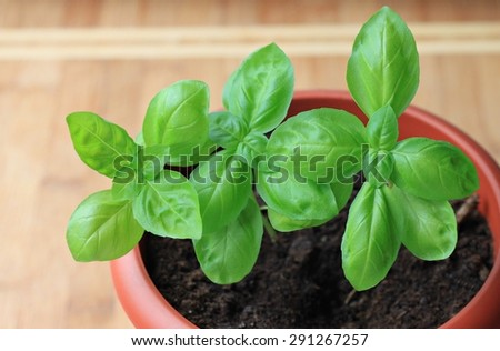 Basil herb pot kitchen homegrown fresh ingredient