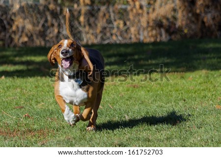 Basset hound having fun running in Colorado off-leash dog park