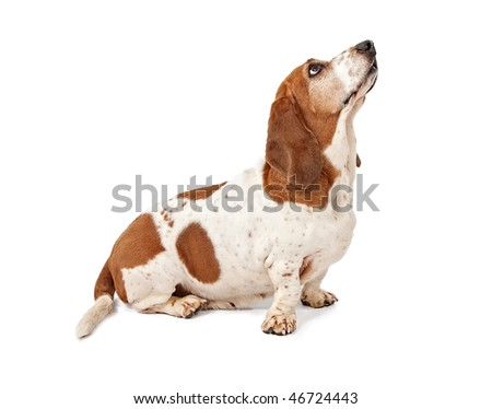 Basset Hound looking for a treat