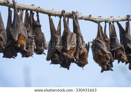Bats or little red flying-foxes roosting on inland white mahogany, Eucalyptus trees and easily spooked into flying.