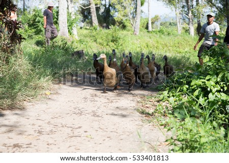 BATUSANGKAR, WEST SUMATRA, INDONESIA, AUGUST, 2016: unidentified village people drive ducks on Batusangkar village in West Sumatra, Indonesia, August, 2016