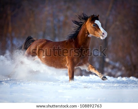 bay horse runs in winter forest