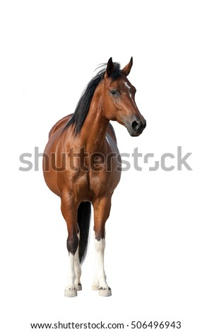 Bay horse standing isolated on white background