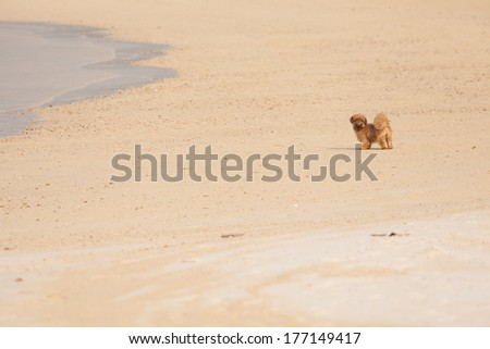 beach dog, lonely brown shihtzu puppy on the white sand beach