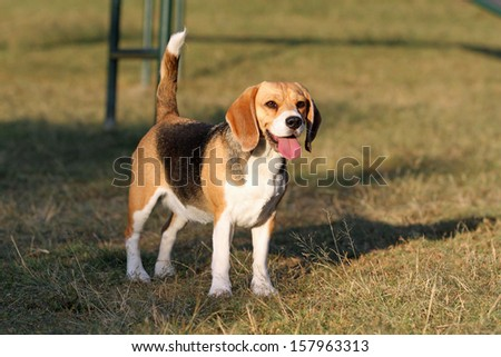 Beagle dog looking alert with tail up in park