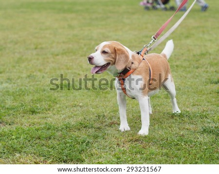 Beagle Dog with green yard