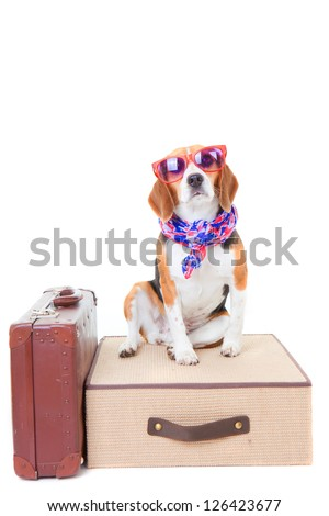 beagle dog with suit cases as concept for travel on summer holiday or vacation