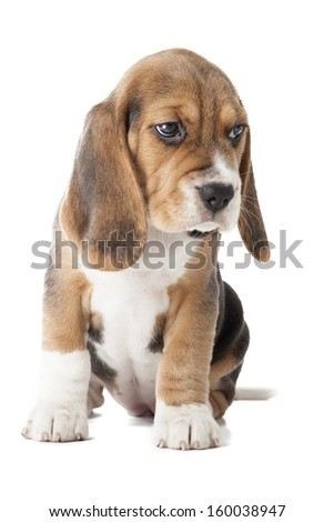beagle puppy sitting on a white background in studio