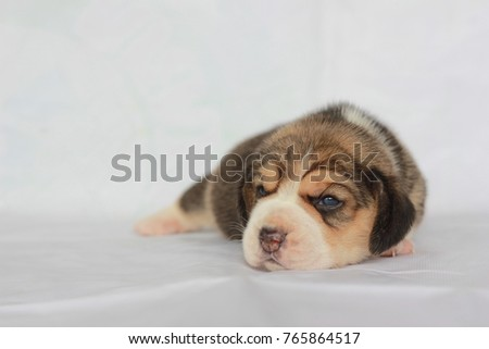 Good Small Beagle Adorable Dog - stock-photo-beagle-puppy-with-tricolor-isolated-on-white-background-portrait-cute-dog-small-puppy-looking-up-765864517  Pictures_418522  .jpg