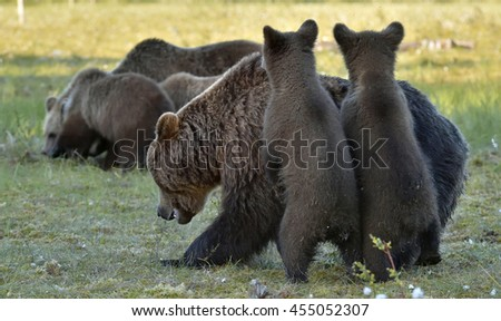 Bear cubs hide for a she-bear. She-bear and bear-cubs. Adult female of Brown Bear (Ursus arctos) with cubs on the swamp  in summer forest.