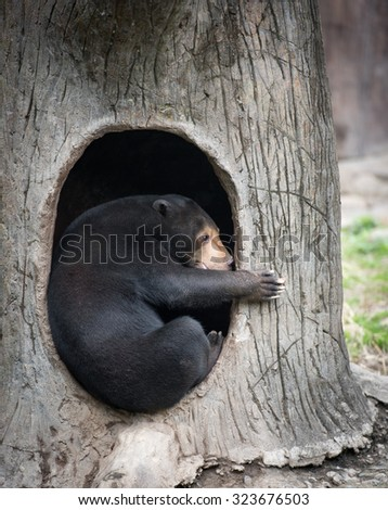 Bear side view. Malayan sun bear sits in its lair in a zoo