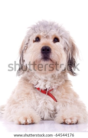 bearded collie puppy seated on a white background