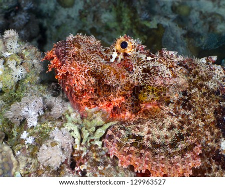 Bearded scorpionfish (Scorpaenopsis barbata) close-up, at night in the Red Sea, Egypt.