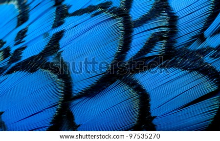 Beautiful abstract background consisting of blue dyed lady amherst pheasant feathers