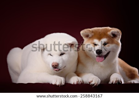 Beautiful Akita Inu puppy and flower