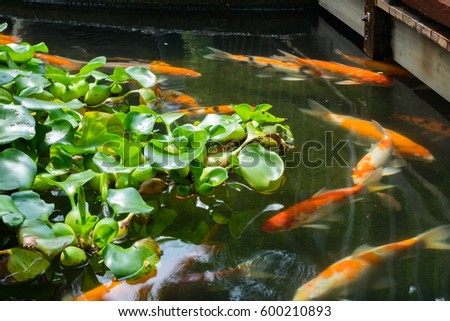 Red orange carp koi fish garden stock photo 388921180 for Pond fish varieties