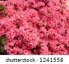 beautiful azaleas - stock photo
